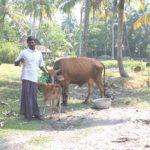 tending_cow